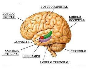 amigdala-cerebral